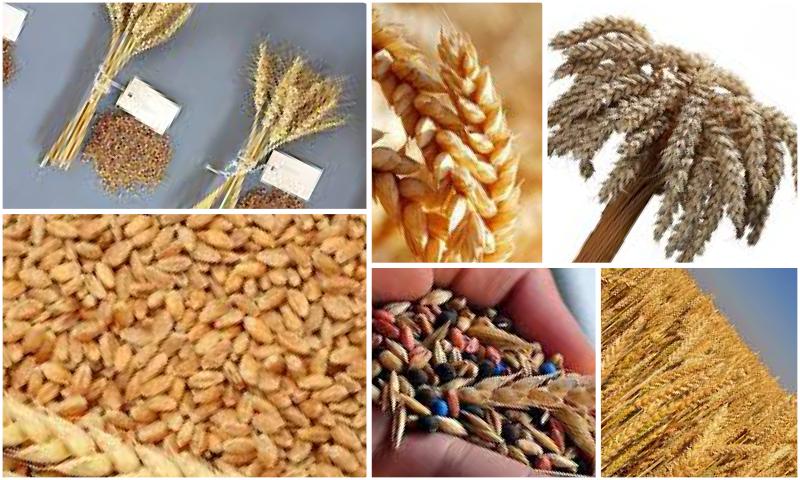 Birinci Kalite Buğday Tohumu Çeşitleri
